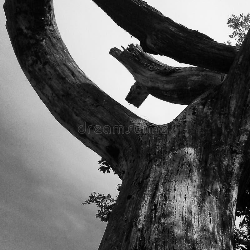 Черно-белое дерево стоковое изображение