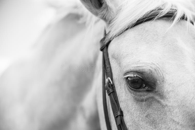 Черно-белое изображение лошади Palamino стоковые изображения rf