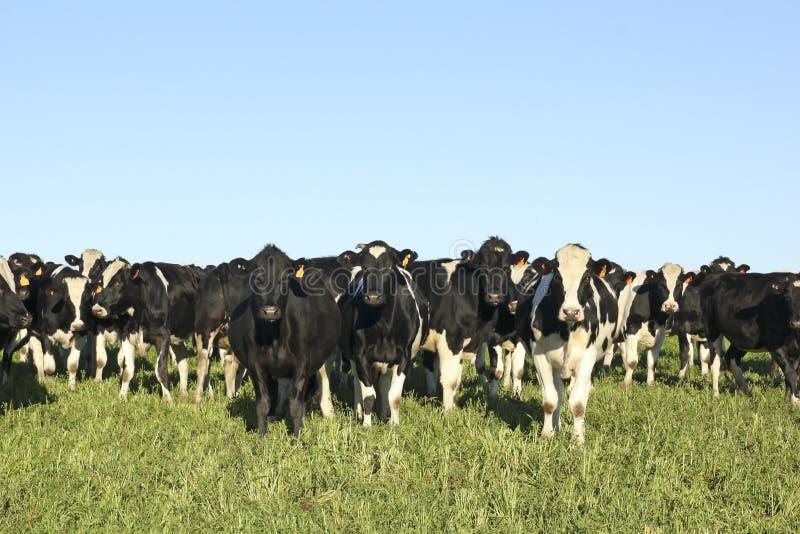 Черно-белые коровы на ферме в сельской Америке. стоковое фото