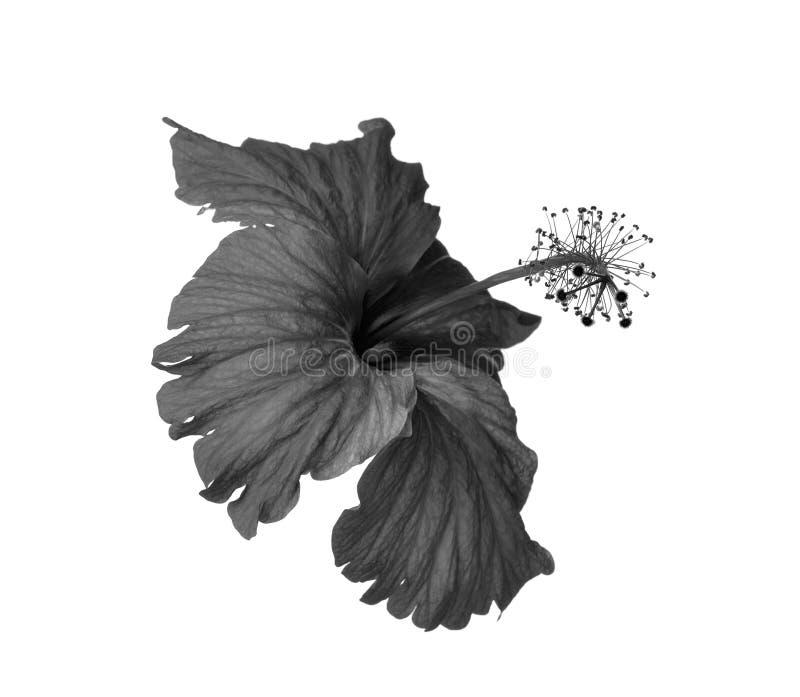 Черно-белые цветки стоковые фотографии rf