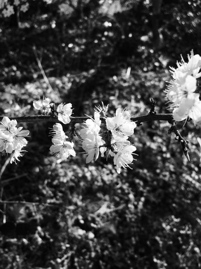Черно-белые цветки стоковое фото rf
