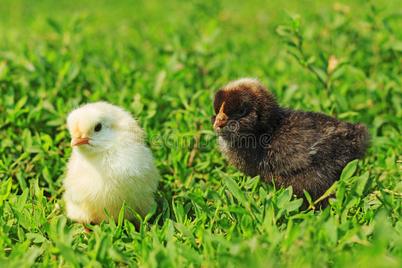 Черно-белые цыпленоки стоковые изображения rf