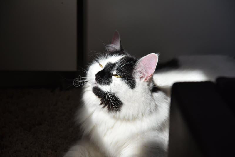 Черно-белый кот енота Мейна стоковая фотография rf