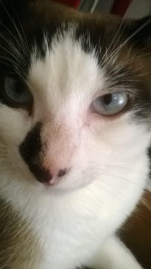 Черно-белый кот, киска, милая, глаза кота, обои, голубые глазы стоковые фото