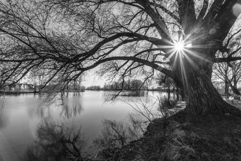 Черно-белый силуэт дерева во времени восхода солнца стоковое фото rf