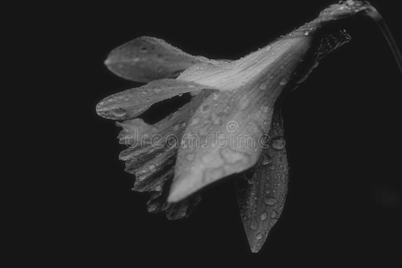 Черно-белый лютик стоковое фото rf