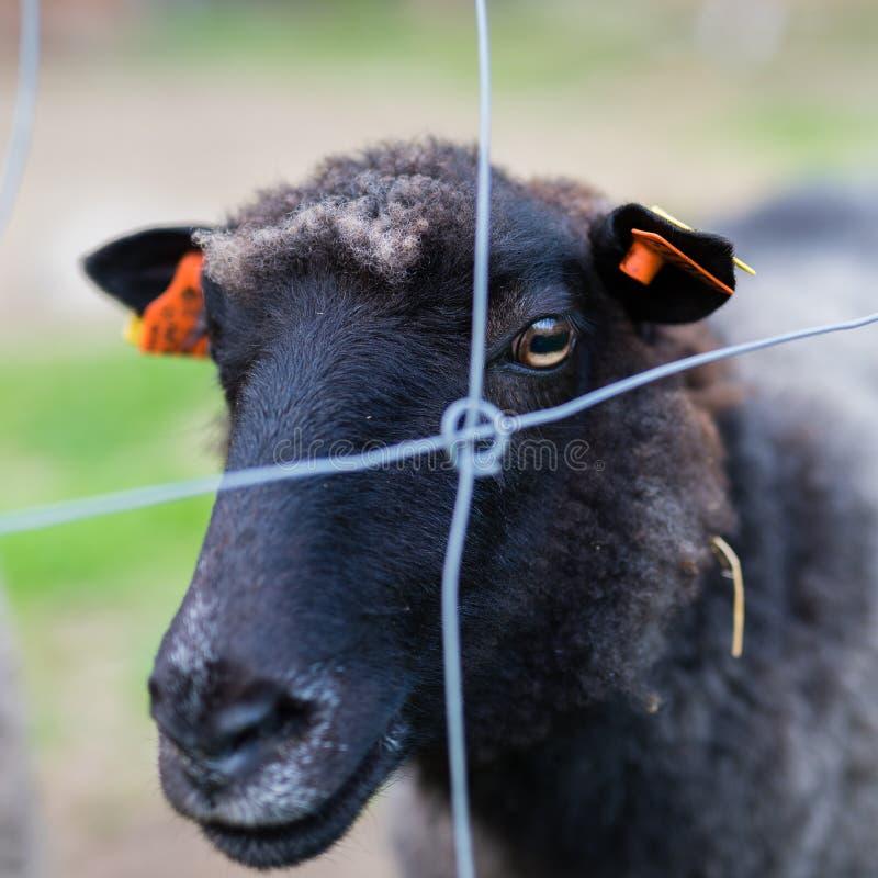 Черно-белый cheep на ферме стоковые фото