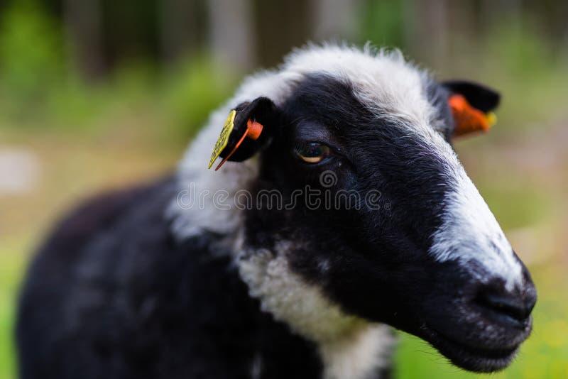 Черно-белый cheep на ферме стоковое фото