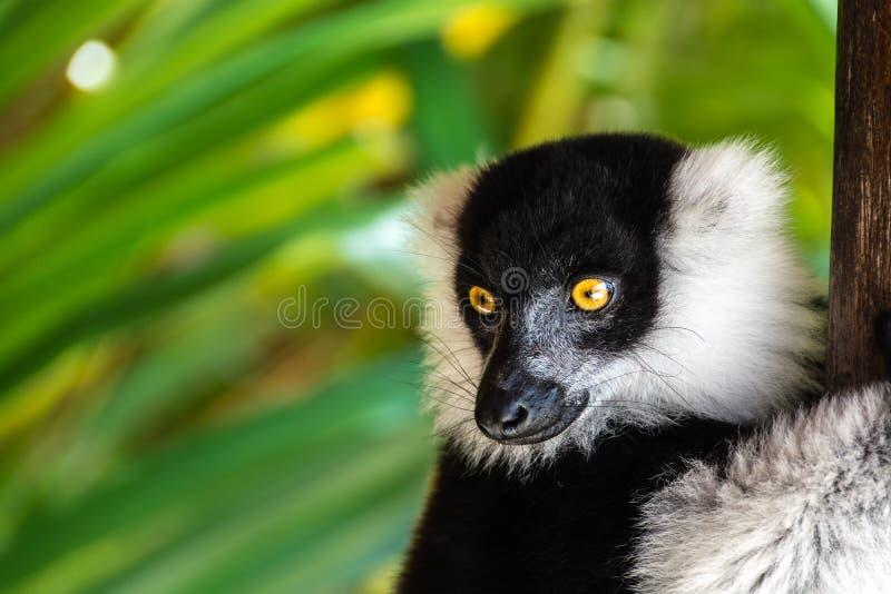 Черно-белый ruffed лемур садился на насест в дереве стоковые фотографии rf