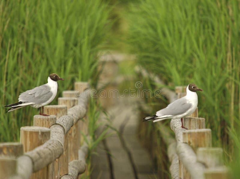 2 черно-головых чайки сидя на перилах деревянного пути стоковое фото