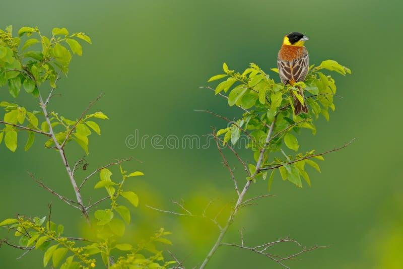 Черно-головая овсянка, melanocephala Emberiza, воробьинообразная птица в среду обитания Птица песни сидя на ветви с желтым лишайн стоковые изображения rf