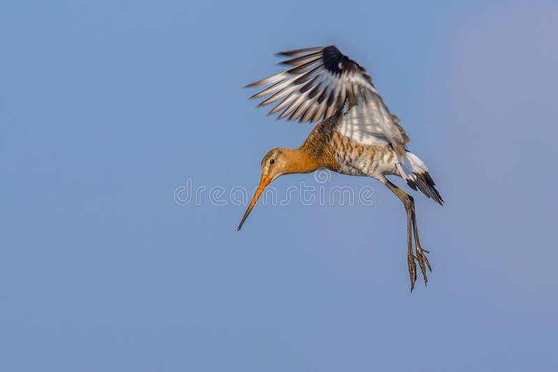 Черно-замкнутая птица wader веретенника подготавливая для приземляться стоковая фотография