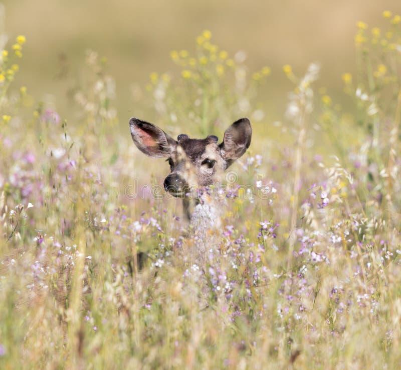 Черно-замкнутое hemionus американского оленя оленей peeking через весну цветет стоковые изображения