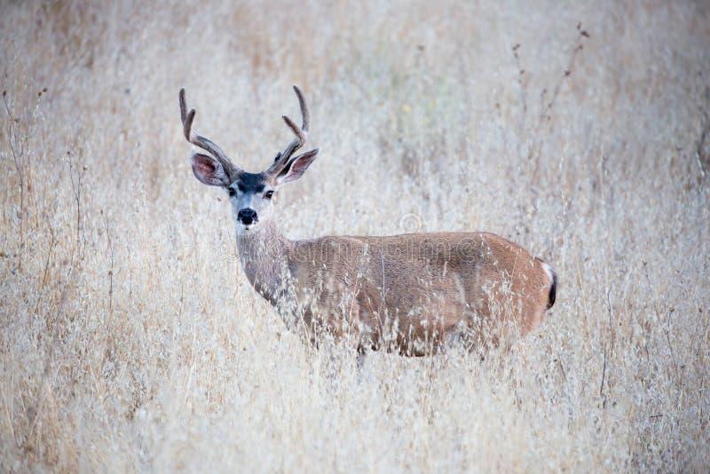 Черно-замкнутые олени (hemionus американского оленя) в засорителях Взрослый, мужчина стоковые изображения rf