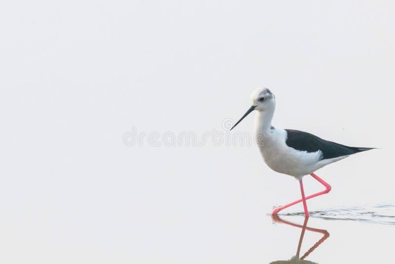 Черно-подогнали ходули в ходулях птицы Wader himantopus Himantopus отражения мелководья стоковое фото