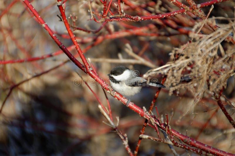 Черно-покрытое atricapillus Poecile Chickadee стоковая фотография rf