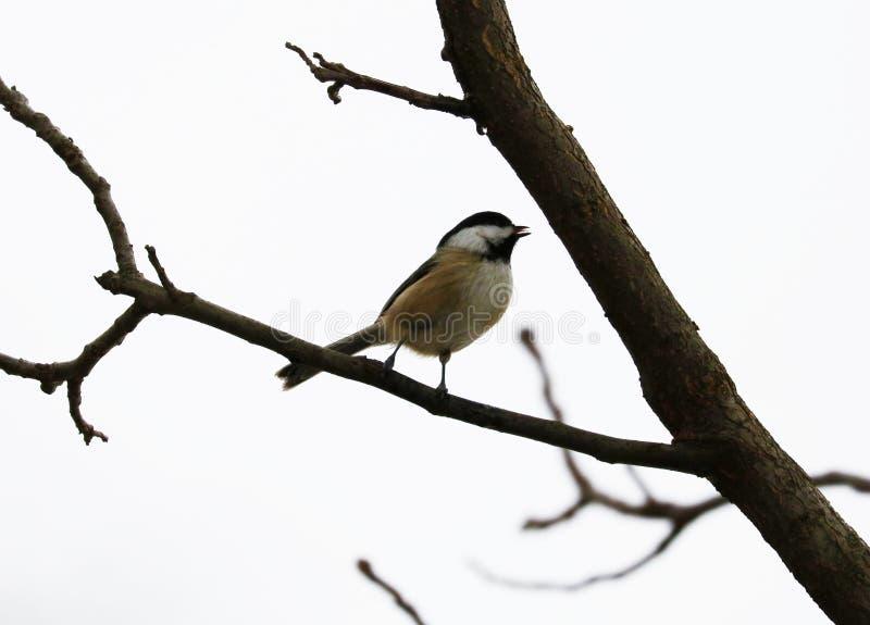 Черно-покрытый chickadee поя на ветви дерева в Мичигане стоковая фотография rf