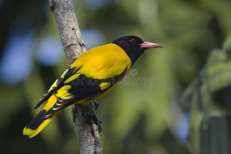 Черно-с капюшоном рамка птицы Иволговых полностью, Непал стоковое фото