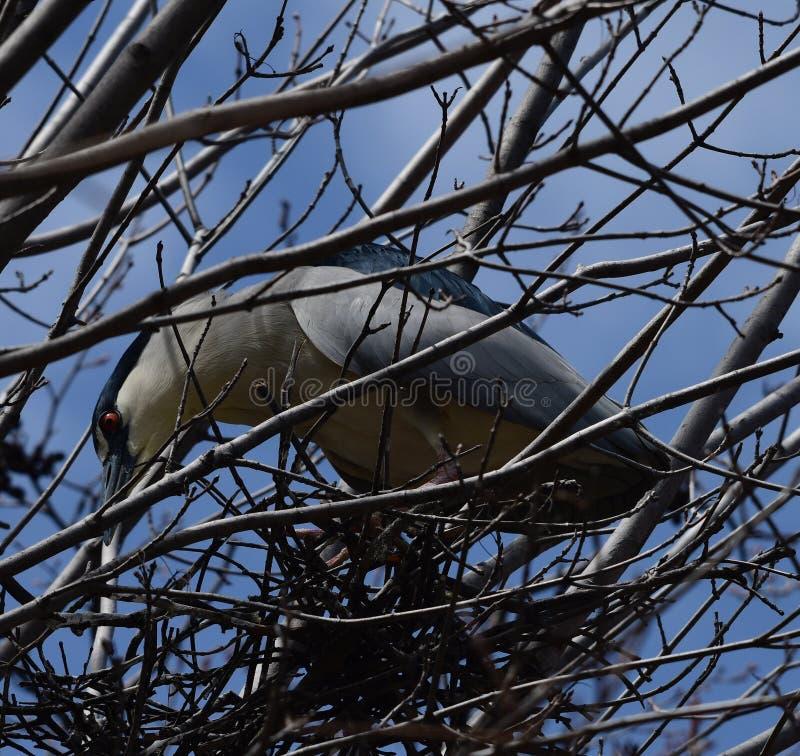Черно-увенчанная цапля ночи пряча в дереве стоковое изображение rf