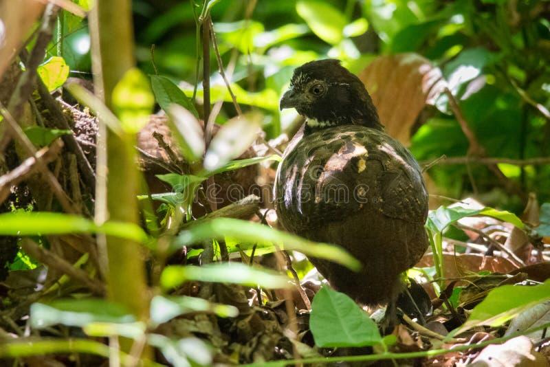 Черно--breasted Древесин-триперстки стоковые изображения rf
