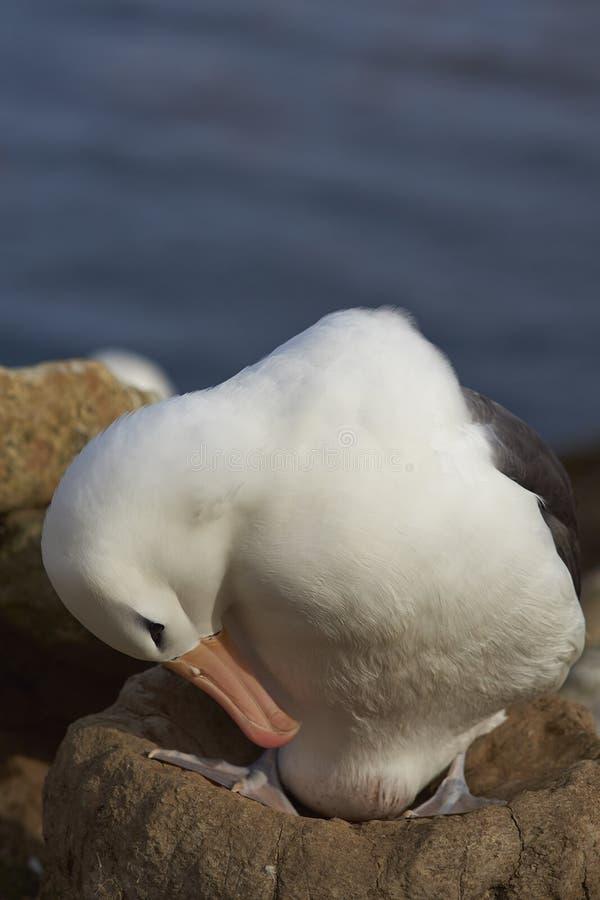 Черно-browed вложенность альбатроса - Фолклендские острова стоковое изображение rf