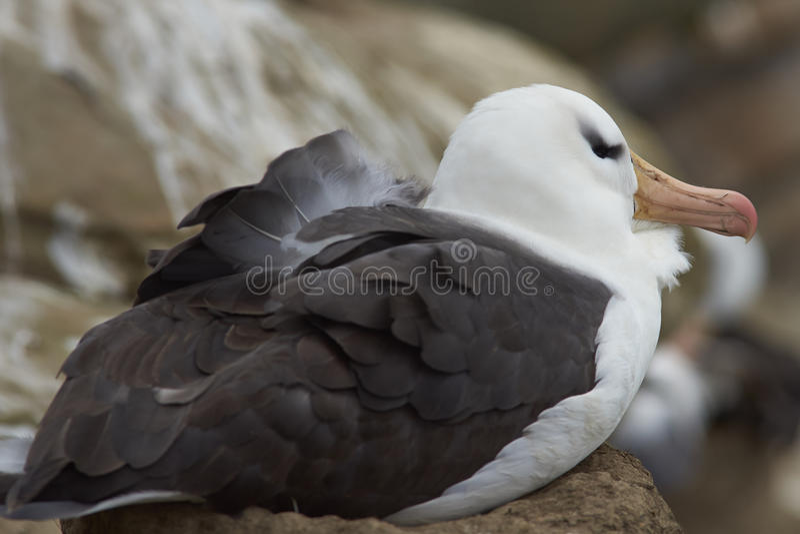 Черно-browed вложенность альбатроса - Фолклендские острова стоковые фото