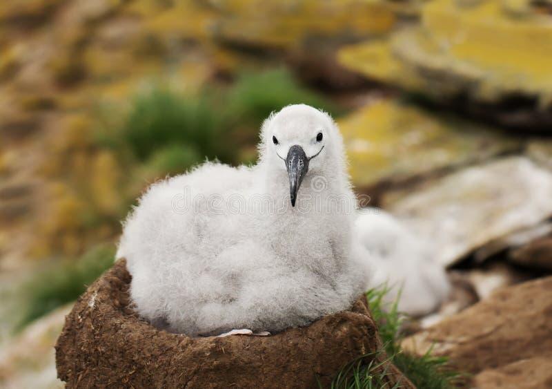 Черно-browed цыпленок альбатроса сидя в гнезде стоковое изображение rf