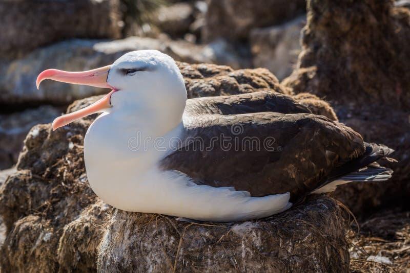 Черно-browed squawks альбатроса пока сидящ на гнезде стоковое фото