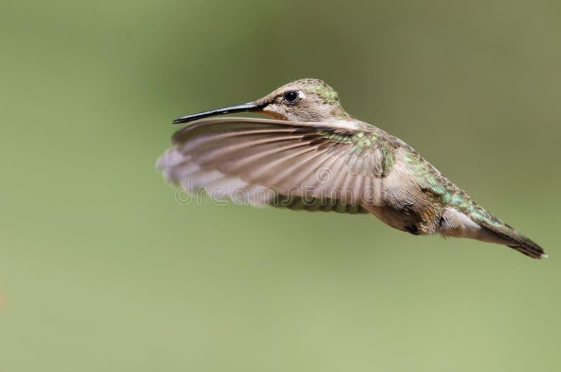 Черно--Chinned колибри завиша в полете глубоко в лес стоковые фотографии rf