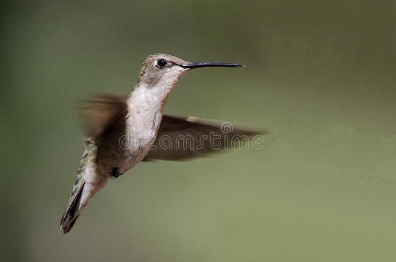 Черно--Chinned колибри завиша в полете глубоко в лес стоковое изображение
