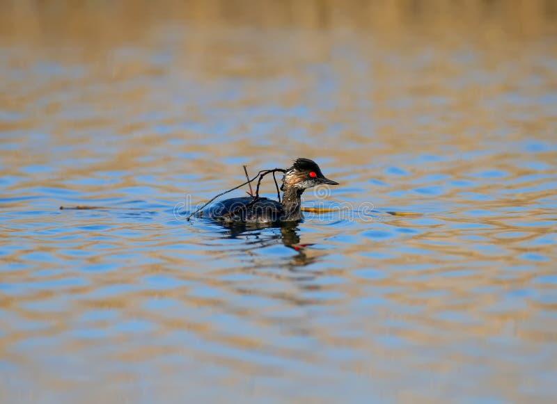 Черно-necked заплывы поганковых в воде стоковые изображения rf