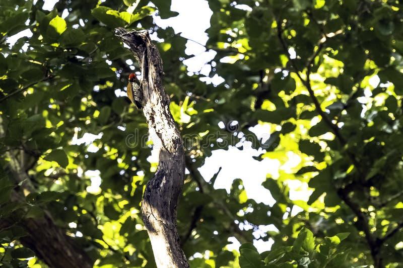 Черно--rumped flameback, поддерживаемый золот woodpecker или меньшее goldenback в национальном парке Джим Corbett стоковые фото