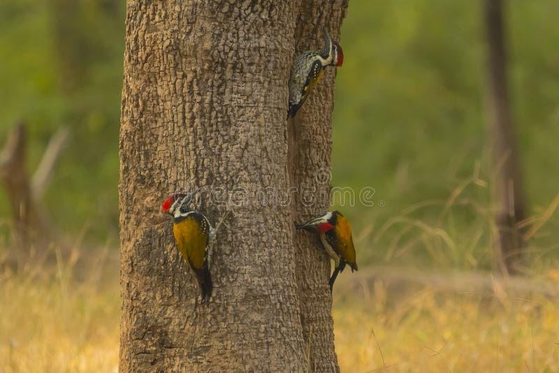3 черно--Rumped Woodpeckers Flameback стоковое изображение rf