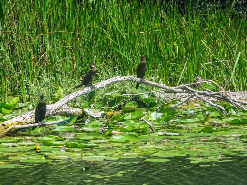 Черные бакланы одна из самых важных привлекательностей национального парка Skadar озера стоковое фото rf