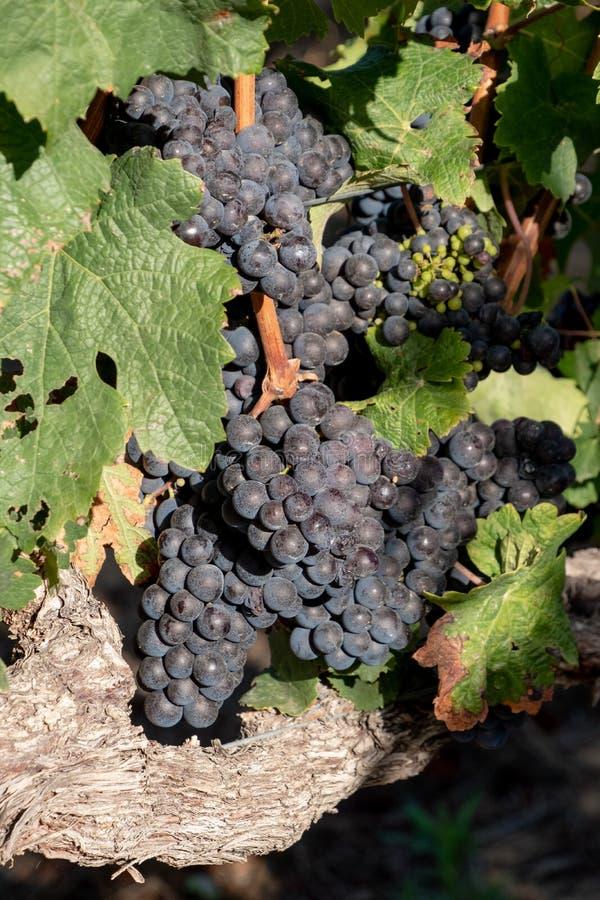 Черные виноградины в виноградниках на винограднике Groot Constantia, Кейптауне, Южной Африке, принятой на ясное раннее утро стоковое фото