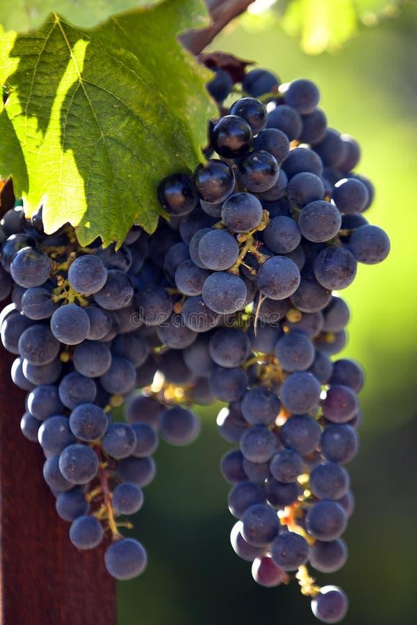 Черные виноградины стоковые изображения