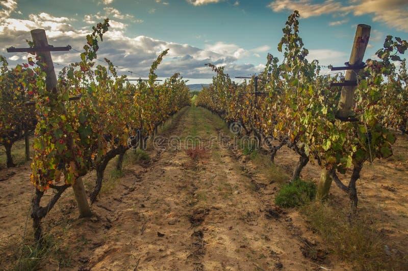 Черные виноградники виноградины в Испании стоковое изображение rf