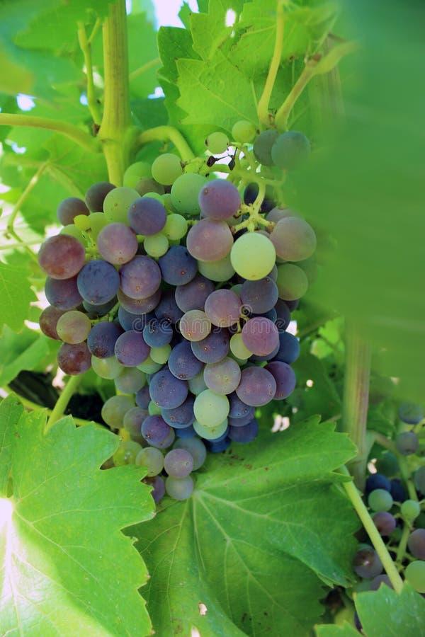 Черные виноградины Muscat стоковые изображения