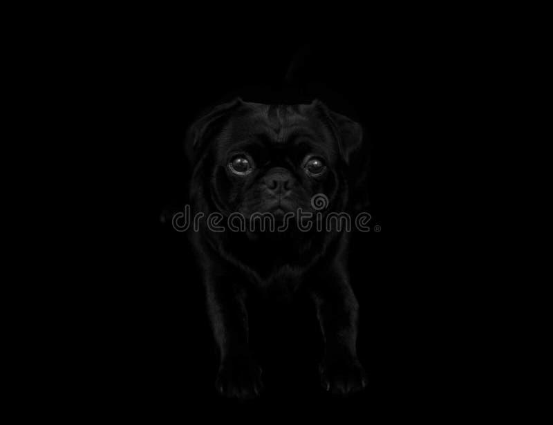 Черные глаза мопсов стоковое фото