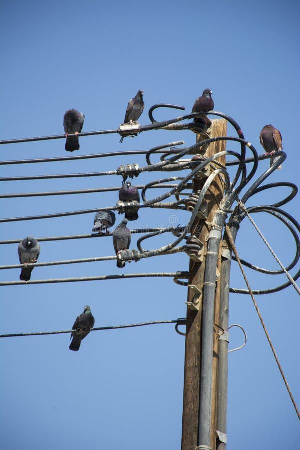Черные голуби на электричестве стоковое изображение