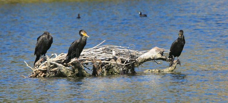 Черные двойные crested птицы бакланов стоковое изображение rf