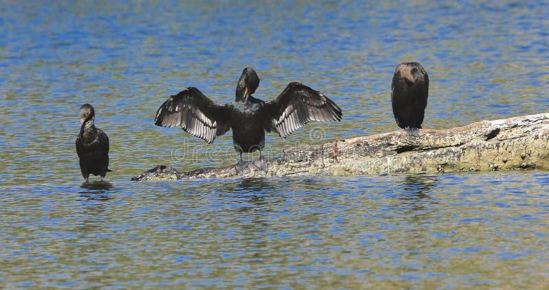 Черные двойные crested птицы бакланов стоковые фотографии rf