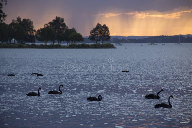 Черные лебеди на озере Maquarie стоковые фотографии rf