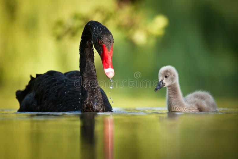 черные лебеди семьи стоковое изображение