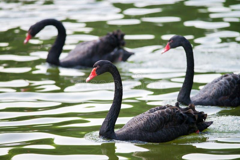 Черные лебеди стоковые фото
