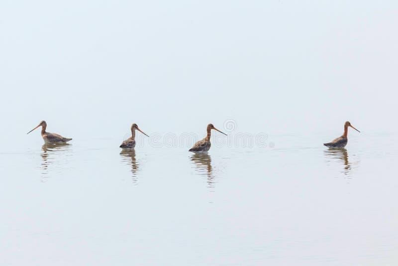 Черные замкнутые птицы Wader limosa Limosa веретенника фуражируя в мелководье стоковое изображение rf
