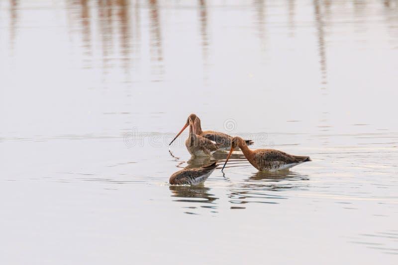 Черные замкнутые птицы Wader limosa Limosa веретенника фуражируя в мелководье стоковое фото