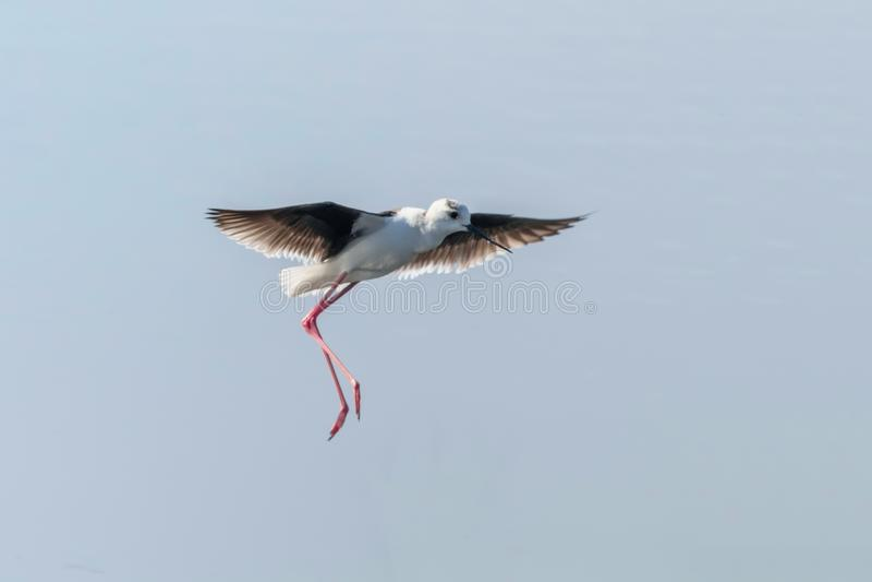 Черные, который подогнали ходули в полете птицы Wader himantopus Himantopus полета стоковые изображения