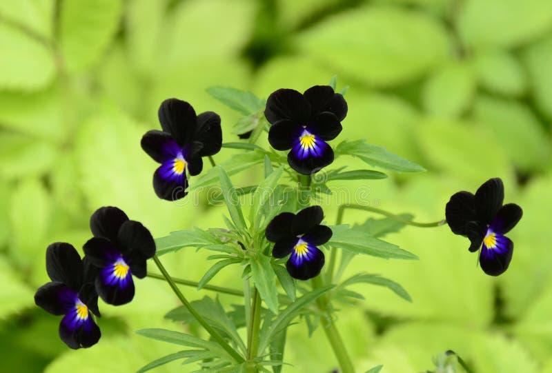 Черные красоты стоковое фото rf