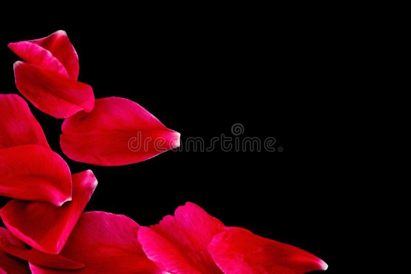 черные лепестки рубиновые стоковое изображение